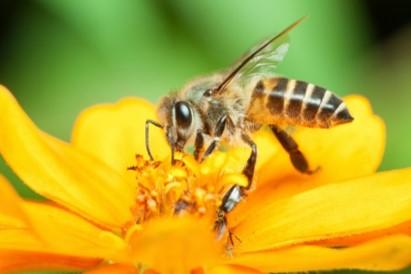 pollinisateurs-abeille