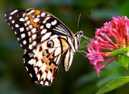 pollinisateurs-papillon