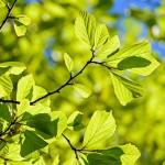 arbre-vert-oak